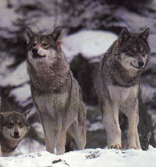 Baby Gray Wolves In Snow