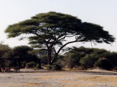 Blue Planet Biomes Umbrella Thorn Acacia