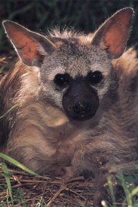 Aardwolf (Proteles cristatus) Aardwolf1