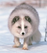 http://www.blueplanetbiomes.org/images/arctic_fox.jpg