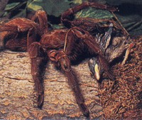 The Goliath bird-eating spider is as its name suggests large enough to eat a bird. This giant spider is found in the northern South American countries of ... & Goliath Bird Eating Spider - Theraphosa blondi