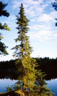external image black_spruce.jpg