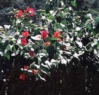 Bougainvillea Bougainvillea Spectabilis