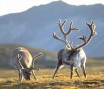 Alpine tundra caribou - photo#13