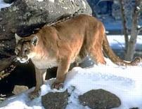 external image cougar2.jpg