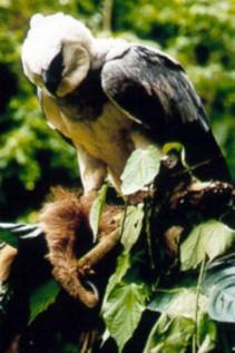external image harpy-eagle.jpg