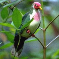 Jambu Fruit Dove Ptilinopus