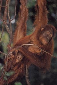 external image orangutan.jpg