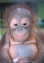 external image orangutan_infant.jpg