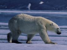 external image polar_bear.jpg