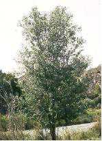 White Poplar Tree Leaf White Poplar - Populus...