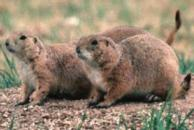 external image prairie_dog.jpg