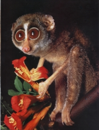 asian singles in loris From reports of a single loris loris awareness week starts the 16th of september this is the first international week dedicated to the conservation of the asian.