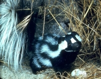 external image spotted_skunk.jpg