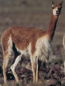vicuna,vicuna pronunciation,vicuna for sale,vicuna yarn,vicuna facts,vicuna sweater,vicuna color,vicuna coat,vicuna clothing,